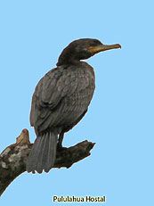 Neotropical-Cormorant_Phalacrocorax-brasilianus