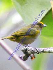 Orange-bellied-Euphonia_Female