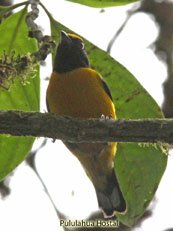 Orange-bellied-Euphonia_Euphonia-xanthogaster