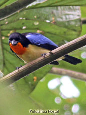 Orange-throated Tanager - Wetmoretraupis sterrhopteron