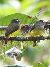 Ornate-Flycatcher