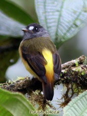 Ornate-Flycatcher_Myiotriccus-ornatus