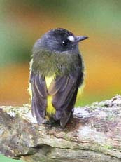 Juve Ornate Flycatcher
