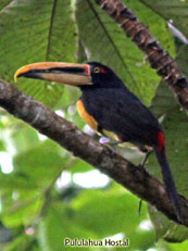 Pale-mandible Aracari