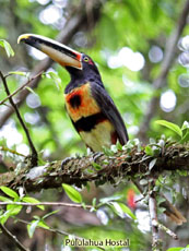 \Pale-mandibled Aracari