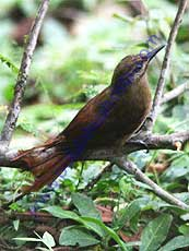 Plain-brown-Woodcreeper