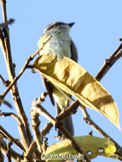 Pyratic Flycatcher