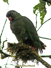 Red-billed Parrot_Pionus sordidus