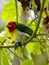 Red-headed-Barbet