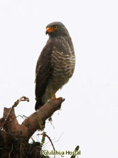 Roadside-Hawk_Buteo-magnirostris