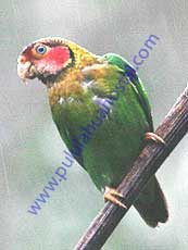 Rose-faced-Parrot