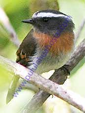 Rufous-breasted_Chat_Tyrant