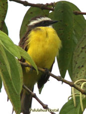 Rusty-margined-Flycatcher