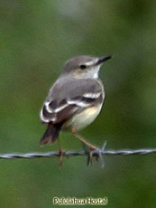 Short-tailed Field Tyrant