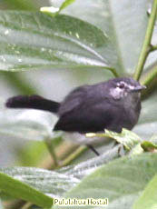 Slate-throated-Gnatcatcher