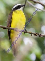 Social-Flycatcher