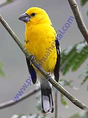 Southern Yellow-Grosbeak
