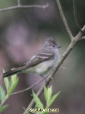 Southern Beardless-Tyrannulet_Camptostoma obsoletum