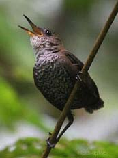 Southern Nitghtingale Wren