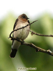 Southern Rough-winged Swallow_Stelgidopteryx ruficollis