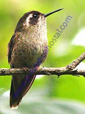 Speckled-Hummingbird