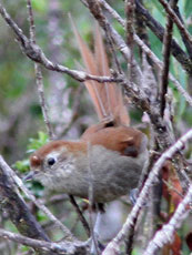 Spinetail-sp