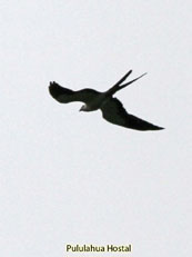 Swallow-tailed Kite_Elanoides forficatus