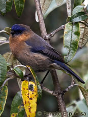 Tit-like Dacnis - Female