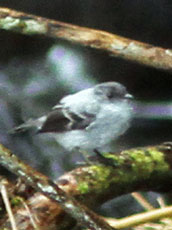 Torrent-Tyrannulet_Serpophaga-cinerea