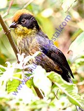 Tricolored Brush Finch