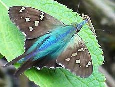 Bluish Long tailed skipper
