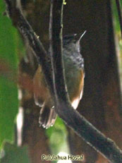 Warbling Antbird_Hypocnemis cantator