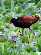 Long Wattled Jacana