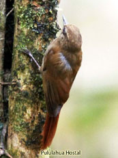 Wedge-billed Woodcreeper_Glyphorynchus spirurus