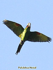 White-eyed-Parakeet