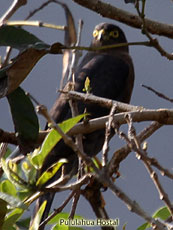 Plain-breasted Hawk (Dark Morph)