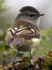 White-tailed-Tyrannulet