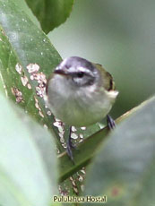 White-tailed-Tyrannulet_Mecocerculus-leucophrys