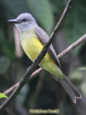White-throated Kingbird_Tyrannus albogularis