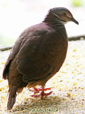 White-throated Quail-Dove_Geotrygon frenata