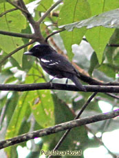 White-winged Becard_Pachyramphus polychopterus