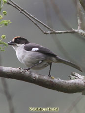 White-winged
