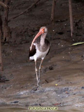 White Ibis Young