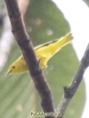 ellow-backed Tanager