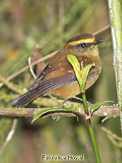 Yellow-bellied Chat-Tyrant_Ochthoeca diadema