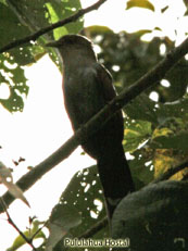 Yellow-billed Cuckoo_Coccyzus americannus
