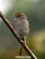 Yellow-browed Sparro
