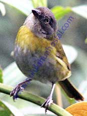 Common Bush-Tanager