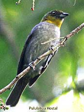 Yellow-throated Bush-tanager